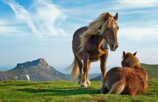 poneys à La Rhune